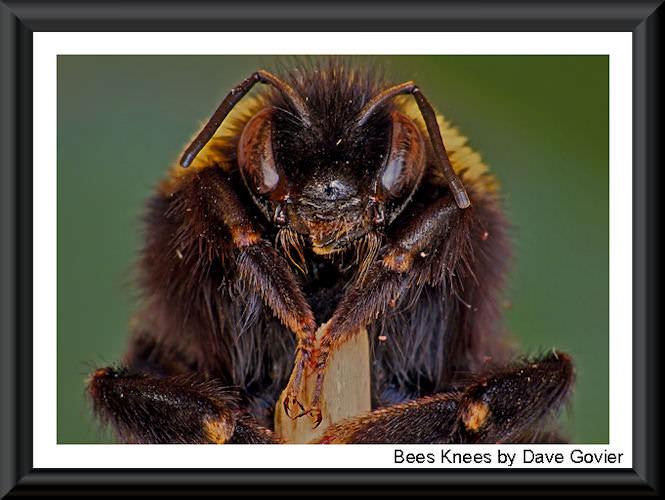Bees Knees 500 2