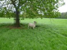 sheep 350