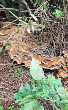 WI Tusmore Walk Fungus 400h